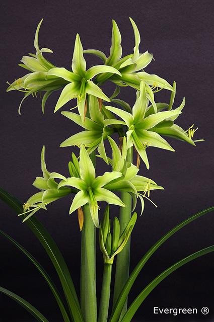 Oppamaryllis vita och lime for Pflanzen evergreen